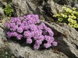 Armeria juniperifolia