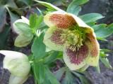 Heleborus orientalis hyb.2