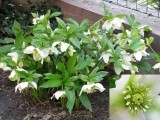 Heleborus orientalis hyb. 3