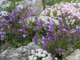 Penstemon sp. fialový