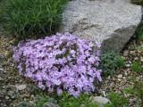 Phlox sp. ružový