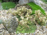 Rosularia turkestanica
