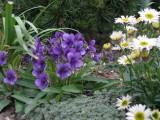 Viola elegantisima
