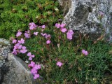 Dianthus haematocalyx ssp. pindicola