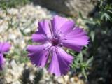 Dianthus oschtenica