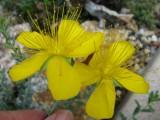 Hypericum aviculariifolium ssp.uniflorum