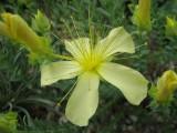 Hypericum olympicum 'Sulphureum'