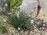 Sisyrinchium sp. 'alba'