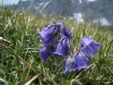 029 Campanula alpina