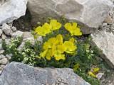 010 Papaver alpinum