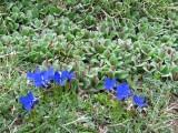 019 Gentiana verna, Salix