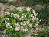 Sedum populifolium