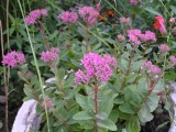 Sedum spectabile'Brillant'
